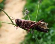 Serangan belalang juta musnahkan 2,000 hektar tanaman di Itali