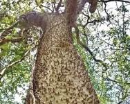Gambaran titian sirat seperti pokok Sa'adan