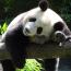 Beruang Panda Malaysia dan Panda 4.0 tiada beza